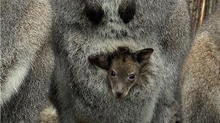 """Kangurzątka wyjrzały z toreb. """"Na dworze coraz cieplej, a maluchów przybywa"""""""