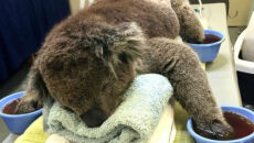 Koala na OIOM-ie. Australia po najgorszym od 30 lat pożarze