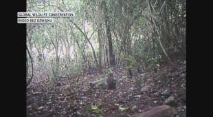 Myszo-jelenia uchwyciła fotopułapka